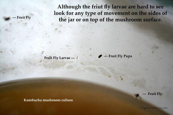 kombucha culture infected vinegar flies